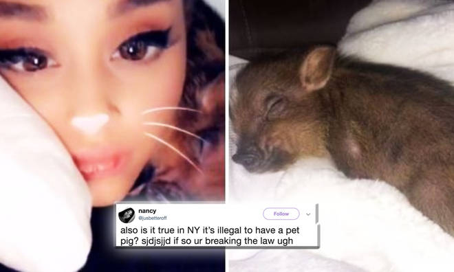 Ariana Grande explains the reason for her pet pig, illegal in NY to a fan